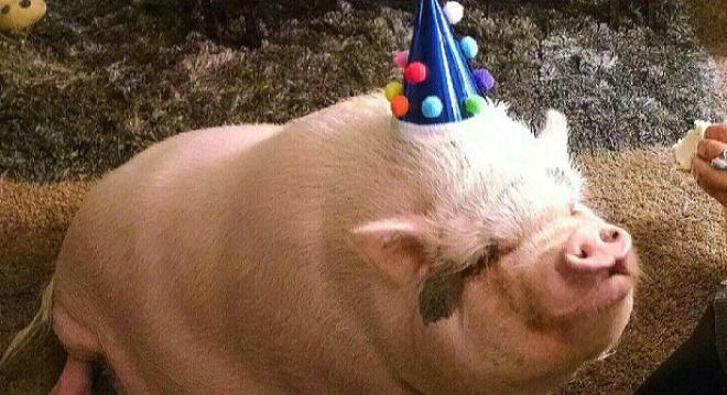"""""""迷你猪""""三年长到227斤"""