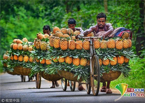 又到了孟加拉国的菠萝季!但这些又香又甜的菠萝被人肉运送到市场却不是个轻松活儿。当地人会推一辆自行车,将两只篮子系在自行车两侧,里面装50到100个菠萝,走长达12英里半(约20千米)的路程。装满菠萝的篮子重重地挂在车的两边,他们只得艰难地推着自行车直至Madhupur市场。