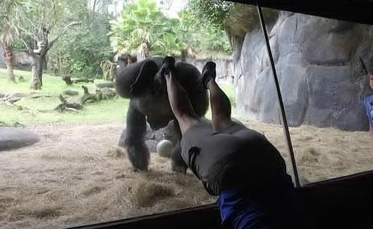 美国大猩猩模仿驯养师双手倒立 配合默契场面滑稽