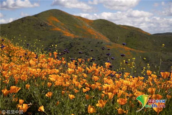 美国沃克峡谷山上野花怒放 风景如