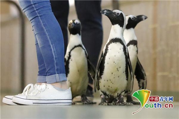 聚焦俄罗斯莫斯科动物园呆萌企鹅 与游客大方互动不胆怯