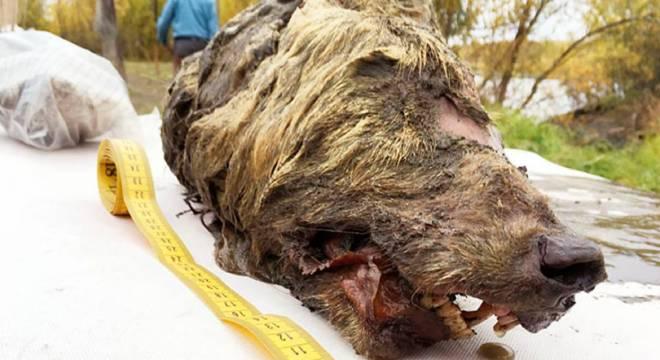 胆小勿入!俄国四万年前狼头是什么情况?永久冻土使它牙齿和毛皮完好无损