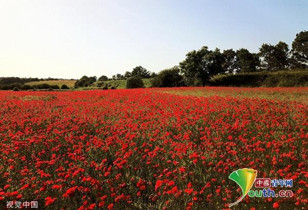 英国一小城成千上万罂粟开花 宛如红地毯 姜维平