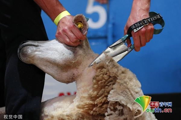 法国首次举办世界剪羊毛锦标赛 超5000只羊将被剪毛 华铭智能