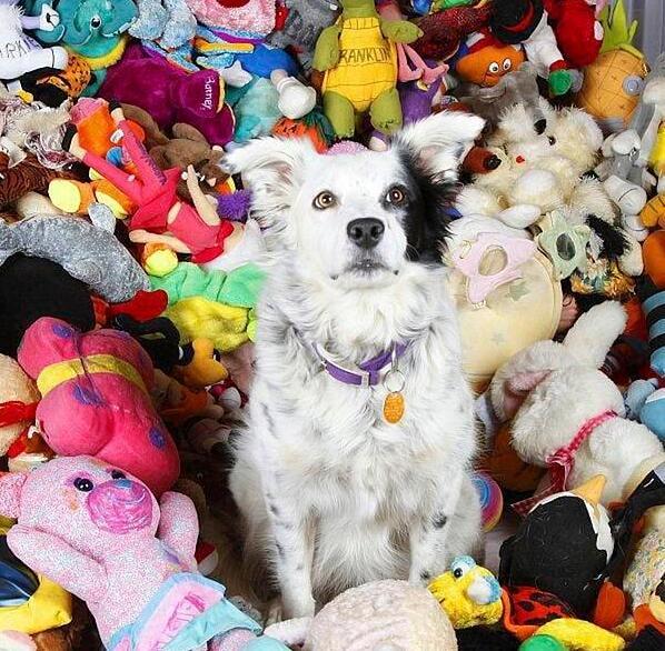 世上最聪明狗狗去世 能熟练掌握1000多个单词