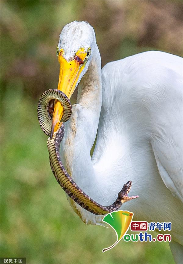 """蛇遭白鹭捕获成""""大餐"""" 鸟嘴中拼命挣扎仍不敌"""