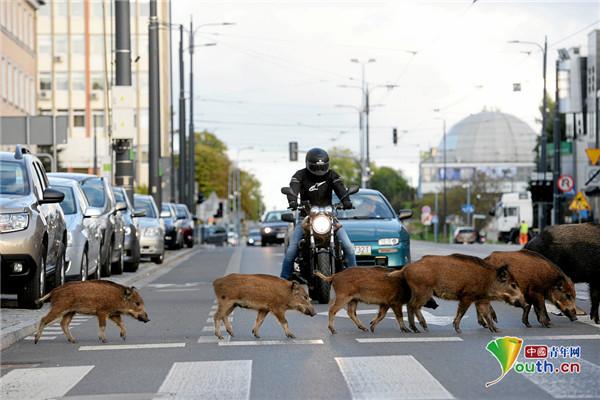 一群野猪在波兰街道招摇过市 民众驻足拍照
