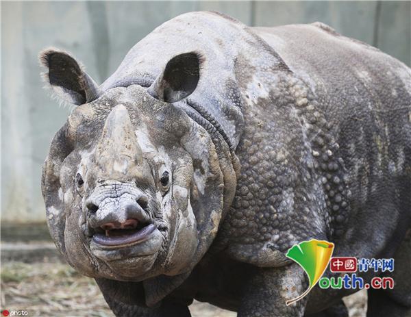 实拍日本动物园内的印度犀牛 面部表情超萌