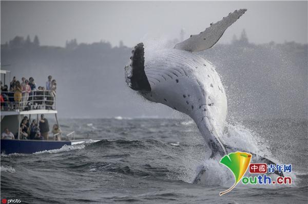 座头鲸宝宝炫技腾空跃出海面 惊艳一船游客