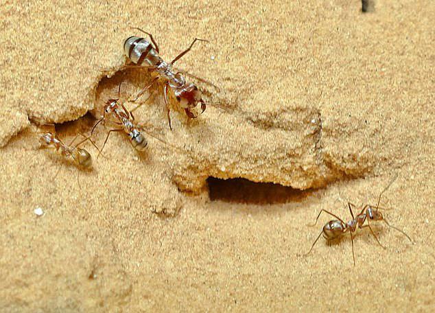 德国科学家发现世界上最快的蚂蚁 一秒47步
