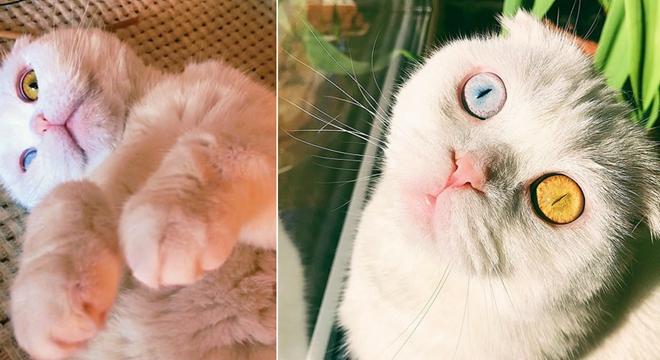 俄罗斯一只宠物猫拥有罕见双色瞳