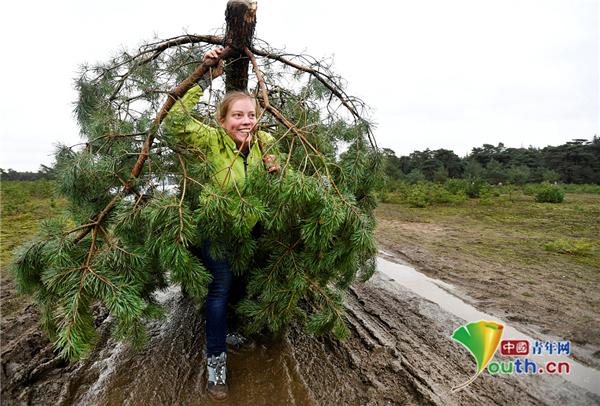 太爽啦!荷蘭松樹氾濫成災「開放民眾免費挑當聖誕樹」質感超優...網羨慕:我也想要一株